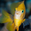 Damselfish - Dive 5 - Palancar Bricks