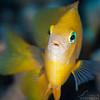 Damselfish - Dive 5 - Palancar Bricks
