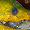 Green Moray Eel - Dive 19 - Colombia Deep
