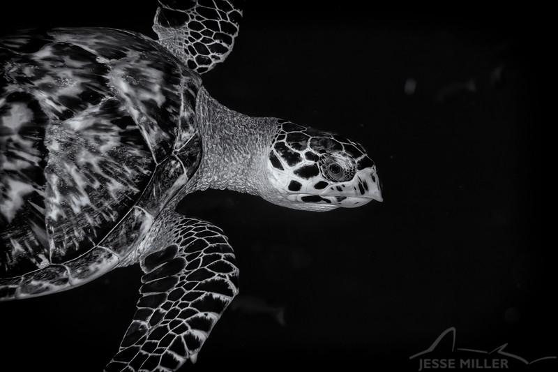 Sea Turtle - Dive 12 - Maracaibo