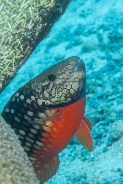 Parrotfish - Dive 21 - Villa Blanca Wall