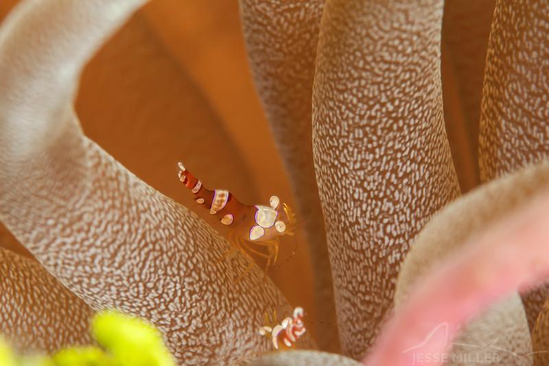 Sexy Shrimp - Dive 12 - Maracaibo