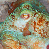 Reef Octopus - Dive 8 - Yucab