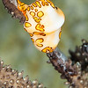 Flamingo Tongue - Dive 1 - Villa Blanca Wall