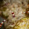Banded Shrimp - Dive 7 - Paso del Cedral