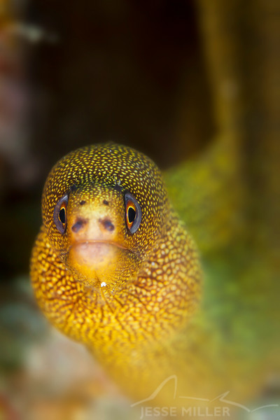 Goldentail Moray Eel - Dive 4 - Yucab