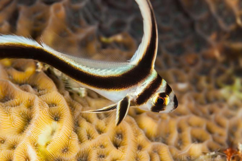 Drumfish - Dive 5 - Palancar Bricks