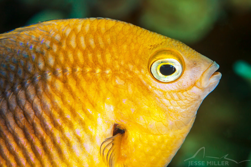 Damselfish - Dive 3 - Palancar Gardens