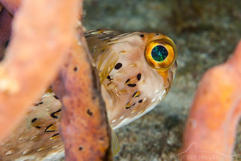 Pufferfish - Dive 11 - Villa Blanca Wall