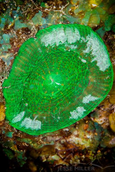 Anemone - Dive 5 - Palancar Bricks