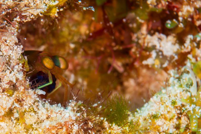Mantis Shrimp - Dive 6 - Tormentos