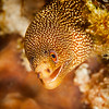 Goldentail Moray Eel - Dive 14 - Tormentos
