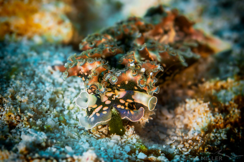 Sea Lettuce Slug - Dive 6 - Tormentos