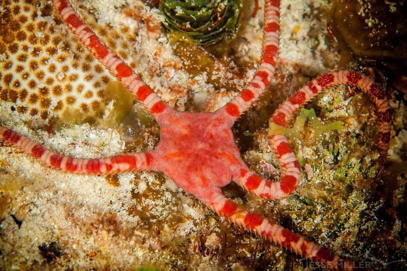 Brittle Starfish - Dive 8 - Yucab