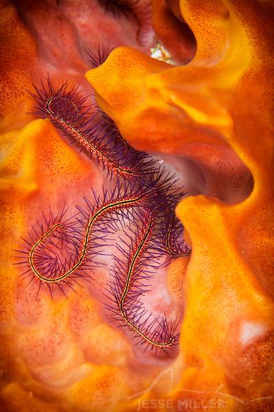 Brittle Starfish - Dive 23 - La Francesa