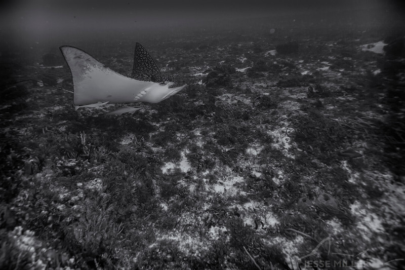 Spotted Eagle Ray - Dive 16 - Punta Tunich