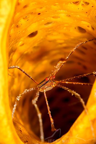 Arrow Crab - Dive 3 - Palancar Gardens