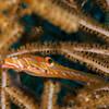 Trumpetfish - Dive 12 - Maracaibo