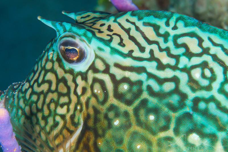 Cowfish - Dive 22 - Punta Sur