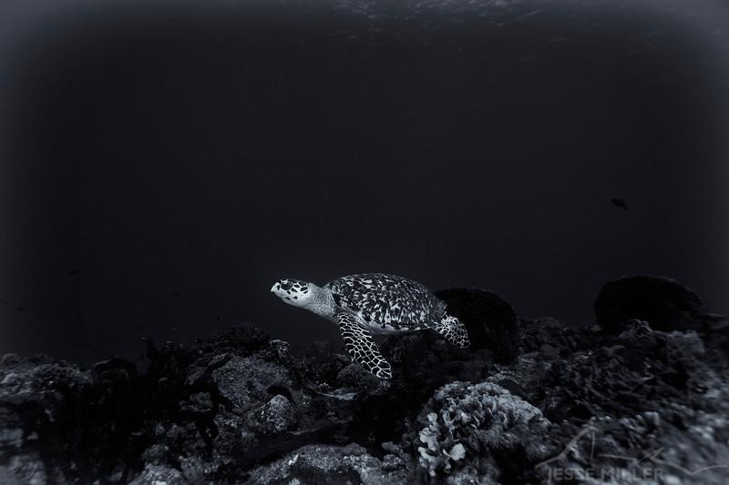 Sea Turtle - Dive 16 - Punta Tunich