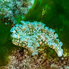 Sea Lettuce Slug - Dive 23 - La Francesa