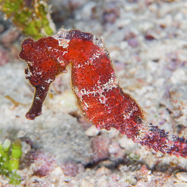 Seahorse - Dive 1 - Villa Blanca Wall