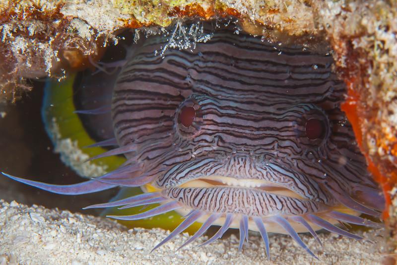 Splendid Toadfish - Dive 18 - San Francisco