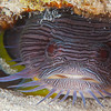 Splendid Toadfish - Dive 18 - San Francisco