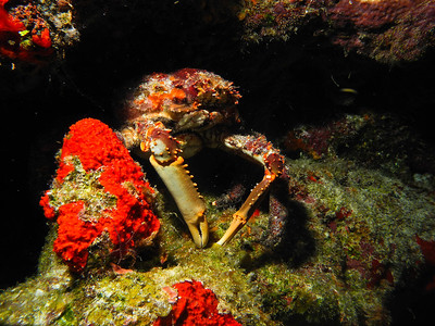 Channel Clinging Crab in the shadows