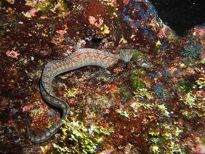 Viper Moray Eel