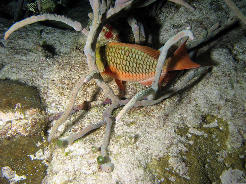 Stoplight Parrotfish - Juvenile