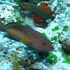 Coney and Goldentail Moray