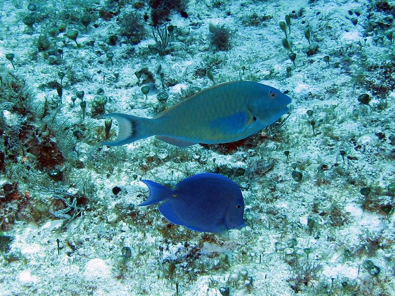 Redtail Parrotfish and Blue Tang