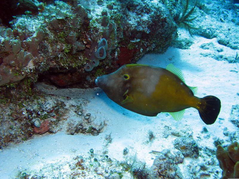 Whitespotted Filefish - Orange Phase