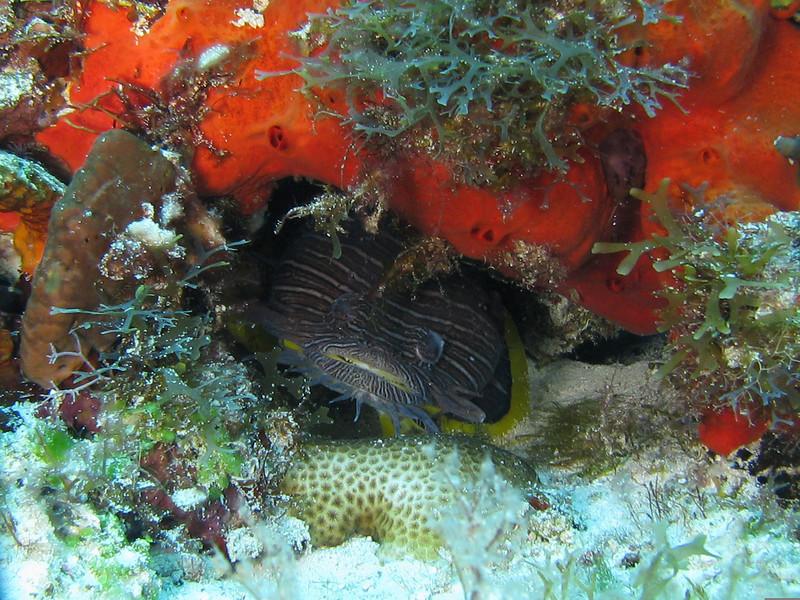 Splendid Toadfish