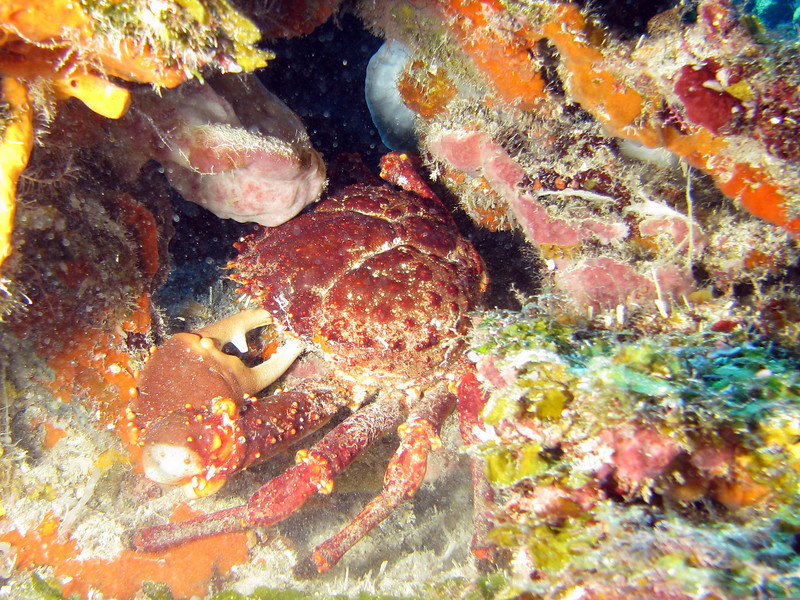 Male Channel Clinging Crab