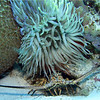 Sea Anemone and Lobster
