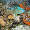 Stoplight Parrotfish - Sleeping