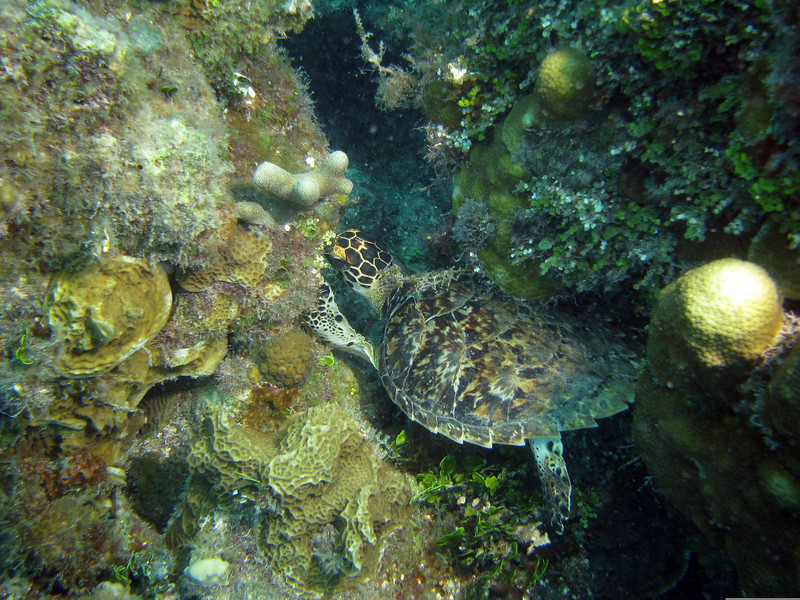 Hawksbill Turtle - Sleeping