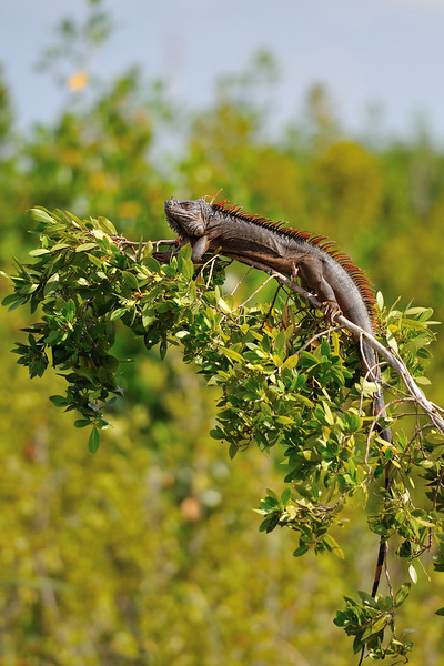 Giant Iguana basking in midday sun in tree