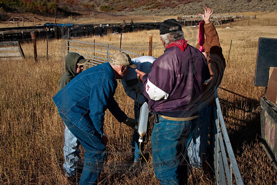 "Three, possibly 4 generations of sheep ranchers, preparing to give an ""overeating vaccine"" to about 900 sheep. 3-Oct-09"