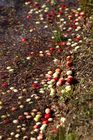 New Jersey Cranberry Harvest