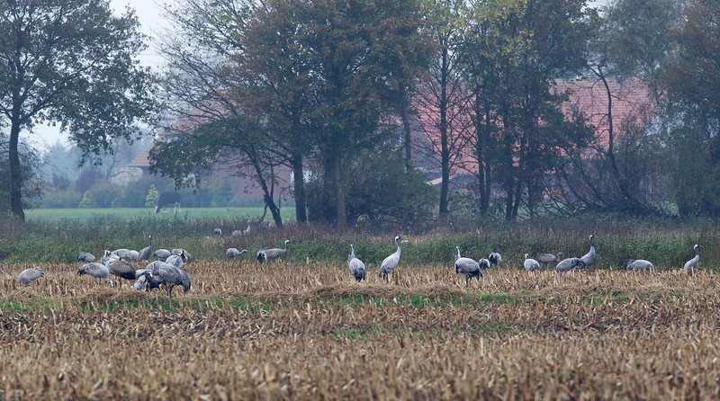 Cranes feeding in nearby fields