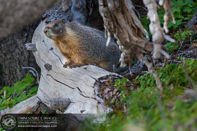Wild Marmot on the trail down from Garfield Peak. Crater Lake Natioanl Park, Oregon