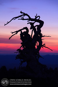 Crater Lake Tree at Sunset