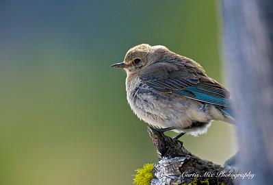 Female Bluebird near the nest.