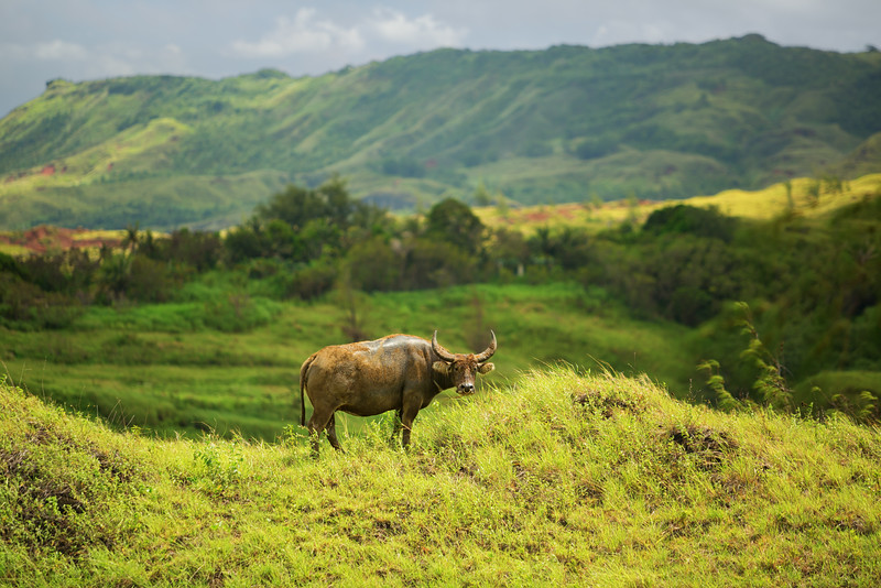 Carabao ©2014  Janelle Orth