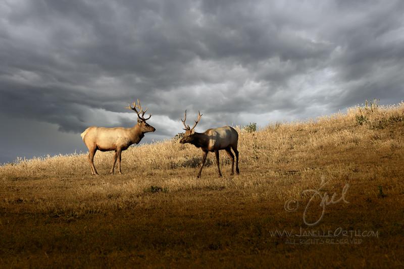 Hillside Elk  ©2020  Janelle Orth