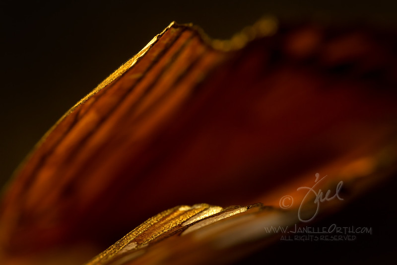 Butterfly Wing Tips ©2014 Janelle Orth