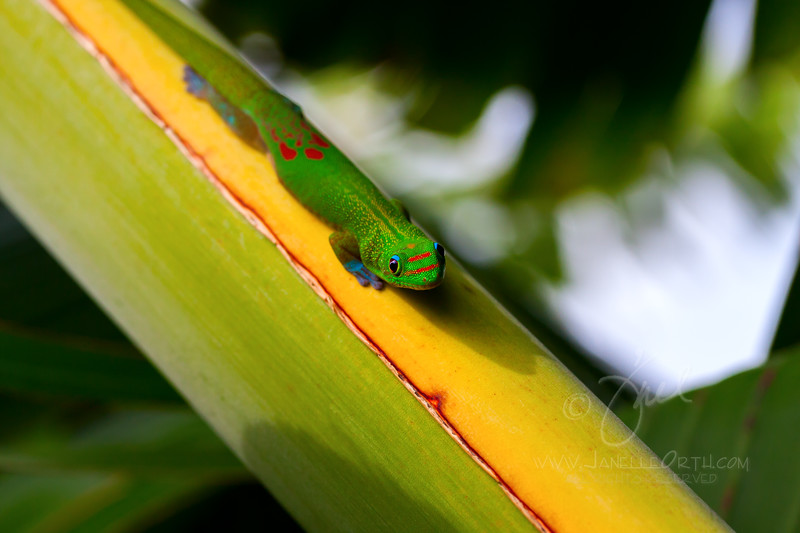 Gold Dust Day Gecko  ©2012  Janelle orth